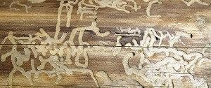 sporen van houtworm