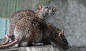 Overlast van ratten in huis